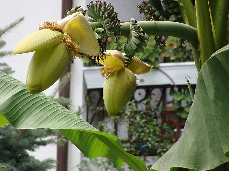Плоды банана на улице Адлера