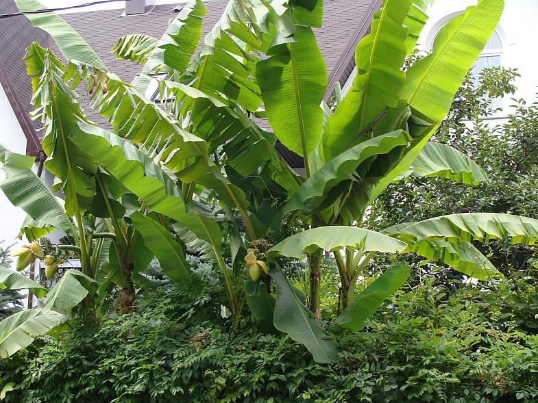 Банановая пальма в Адлере